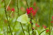 Male Lemon Emigrant (Form-alcmeone) butterfly is feeding on red snakeweed (Stachytarpheta indica) poster
