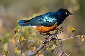 Colourful bird Superb Starling sits on a branch on a bright blue-green background. poster