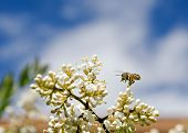 Photo of a Honey bee working hard pollenating flowers. poster