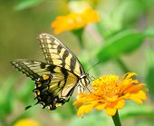 Macro shot of a swallowtail butterfly on a bright flower poster