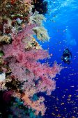 Woman scuba diver exploring soft corals - a series of UNDERWATER IMAGES. poster