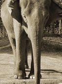 asian elephant in sepia poster