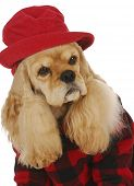 adorable cocker spaniel wearing red hat and coat on white background poster