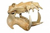 Hippopotamus skull with wide open mouth isolated over white poster