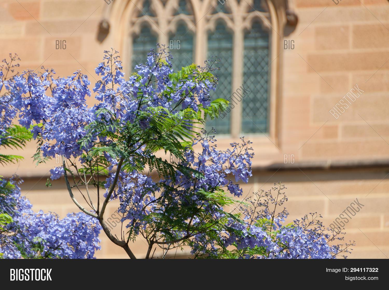 Blooming Jacaranda Image & Photo (Free Trial) | Bigstock