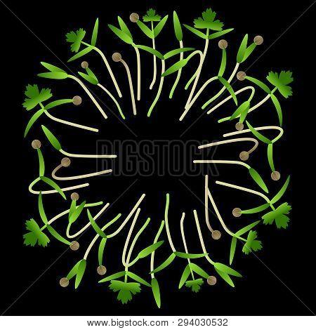 Microgreens Cilantro. Arranged In A Circle. Vitamin Supplement, Vegan Food. Black Background