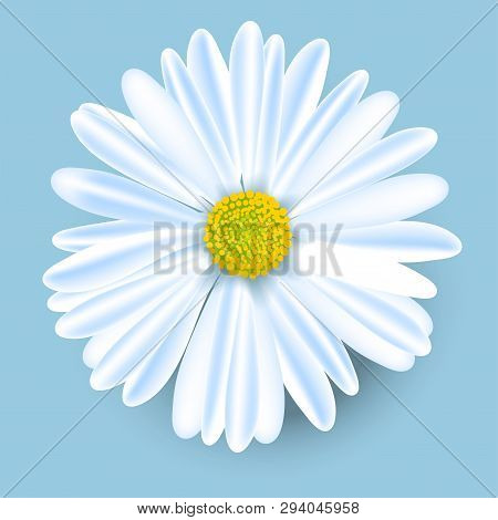 Vector White Chamomile Flower Isolated On Blue Background. Realistic Vector Daisy. Background Design