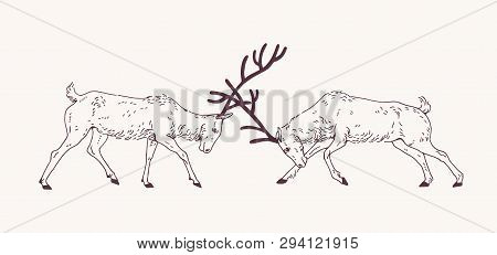 Pair Of Male Deers Fighting With Antlers During The Breeding Season Or Rut Hand Drawn With Contour L