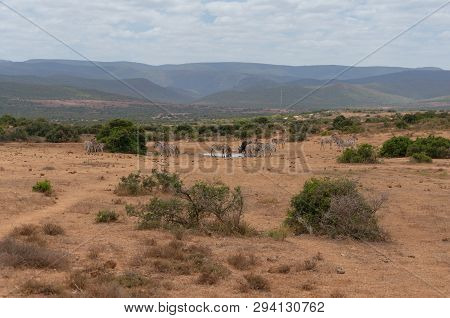 Herd of wild zebras and buffalo on waterhole with vast African wilderness landscape on the background poster