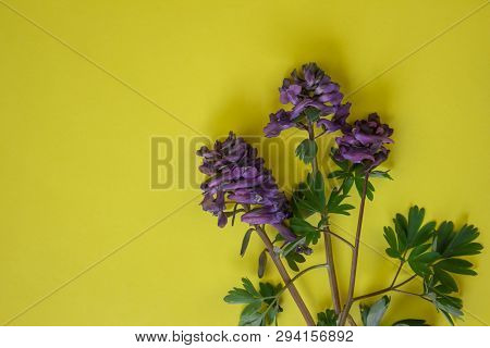 Lilac Flower On A Yellow Background. Flower In Garden At Sunny Summer Or Spring Day. Flower For Post