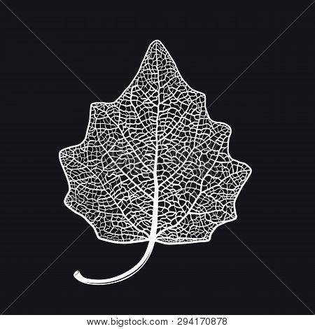 Vector Skeletonized Leaf Of A Lombardy Poplar On A Black Background