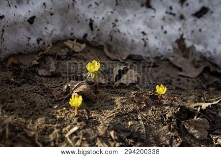 First tender Eranthis, delicate wild primroses, snow. First spring plants, seasons, weather. Spring background poster