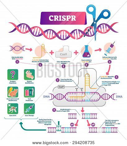 Crispr Vector Illustration. Labeled Clustered Regularly Palindromic Repeats Educational Scheme. Diag