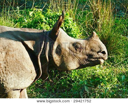 Indian one horned rhinoceros at Royal Chitwan national park in Nepal poster