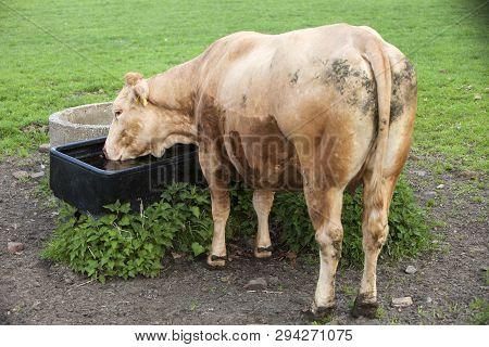 Brown Meaty Cow Drinks In Green Meadow Near Utrecht In The Netherlands