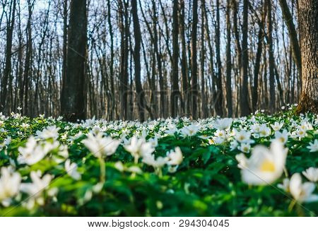 Fantastic forest with fresh flowers in the sunlight. Early spring time is the moment for wood anemone. Snowdrop nemerosa. Soft filter effect. Fresh seasonal background. Ecology concept. Beauty world.