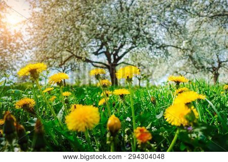 Fantastic yellow field with dandelions in orchard. Location place Ukraine, Europe. Sunny weather on a warm summer day. Fresh seasonal background. Concept of the ecology. Discover the beauty of earth.