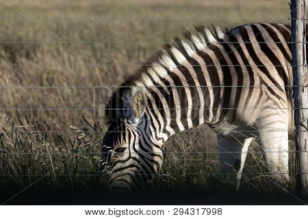 A Zebra Grazing Behind A Fence In South Africa.
