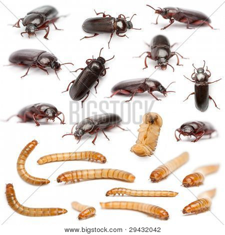 Lifecycle of a Mealworm composition, Tenebrio molitor, in front of white background poster