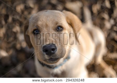 Portrait Of Young Golden Retriever Puppy Playing Outdoors