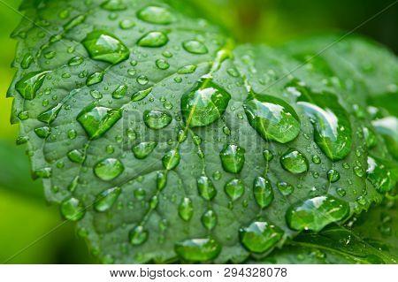 Rain Drops On Green Leaf Nature Background. Nature Background Of Green Leaves. Tree Leaves Nature Ba