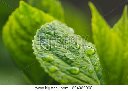 Rain Drops On Green Leaf Nature Background. Nature Background Of Green Leaves. Tree Leaves Nature Ba