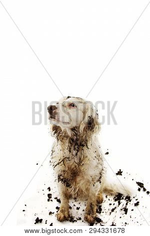 Guilty Dirty Dog After Play In A Mud Puddle. Isolated Studio Shot On White Background.