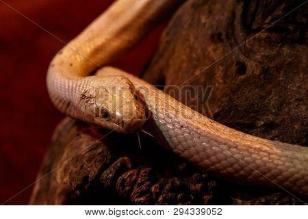 Snake Leucistic Texas Rat