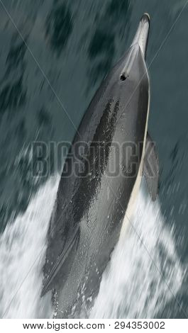 A Common Dolphin Riding The Bow Wave As Seen From The Deck Railing Of A Ship