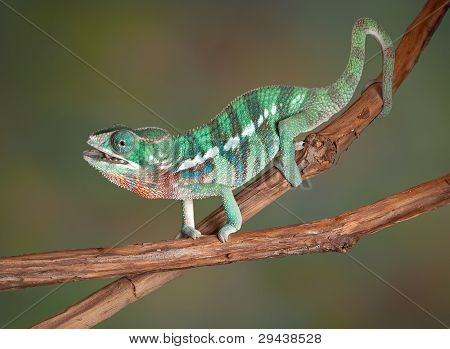 A baby Ambilobe Panther Chameleon is chewing a cricket after catching it with his tongue. poster