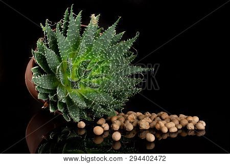Aloe Aristata Plant In A Pot With A Lot Of Pebbles Isolated On Black Glass
