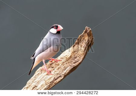 Adult Java sparrow, Lonchura oryzivora, perched on a dead branch. Grey backgournd with space for you text.