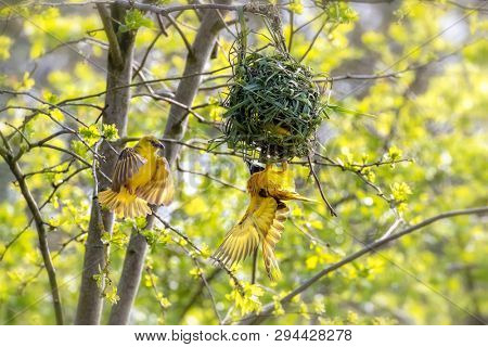 A pair of black-headed or yellow-backed weaver birds, Ploceus melanocephalus building a nest. The female is the one in flight and the male is handing from the nes.,