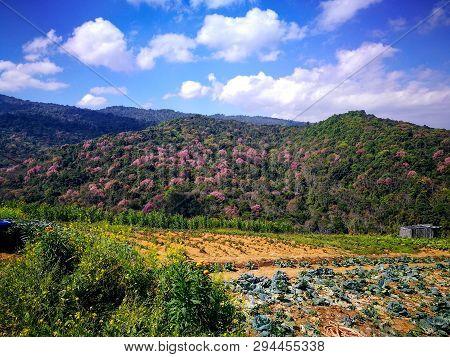 Cabbage Farm At Phu Thap Boek, Petchabun, Thailand With Cherry Blossom (sakura) In The Background.