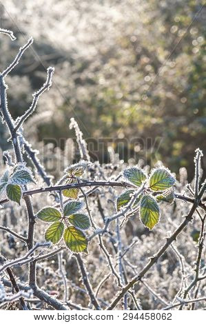 Frosted Winter Thorn Branches Backlit By Spring Sunsine