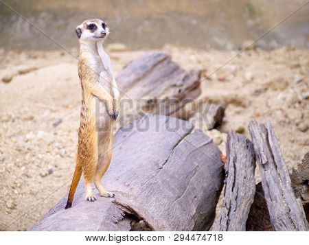 Cute Meerkat That Small Animal Its Standind To Alert Watching On A Small Timber That Put On Brown Sa