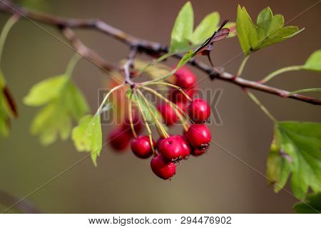 Details Of A Rosehip On Shrub, Red Fruit