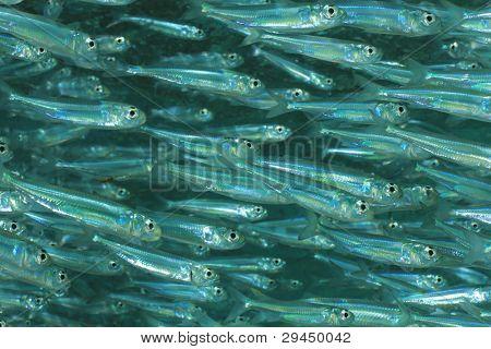 Sardine baitfish schooling together in the Sea