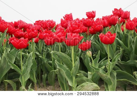 Red Tulips In Rows On  A Flowerbulb Field In Nieuwe-tonge In The Netherlands During Springtime Seaso
