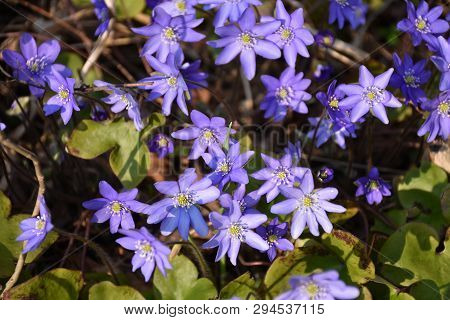 Beautiful Sunlit Group Blue Anemones On The Ground
