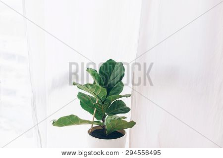 Ficus Lyrata. Beautiful Fiddle-leaf, Fig Tree Plant With Big Green Leaves In White Pot. Stylish Mode