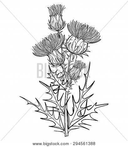 Vector Branch With Outline Welted Thistle Or Carduus Plant, Spiny Leaf, Bud And Flower In Black Isol