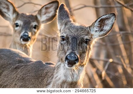 White Tailed Deer, Odocoileus Virginianus, Foraging In Beautiful Light At Dusk, A Primary Host Of Ti