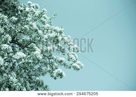 Flowers Of The Cherry Blossoms On A Spring Day In Garden On Blue Ske Background. Springtime Concept.