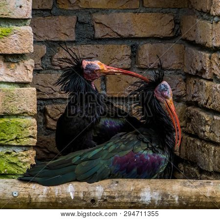 Love Couple Of Northern Bald Ibises Together, One Scratching The Head Of The Other, Funny Animal Beh