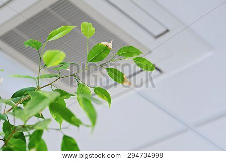Ficus Green Leaves On The Background Ceiling Air Conditioner In Modern Office Or At Home. Indoor Air