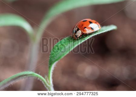 Ladybug Crawling On The Leaves Of A Young Tomato Plant Seedling. Blurred Background.
