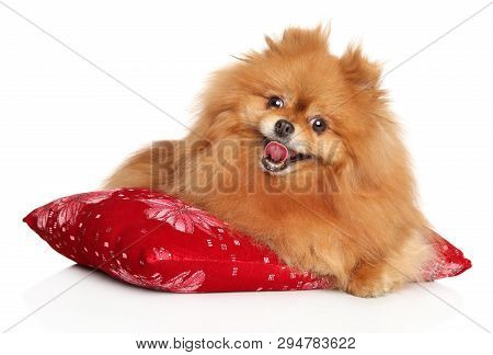 Portrait Of Happy Pomeranian Spitz Puppy Resting On Red Pillow. Animal Themes