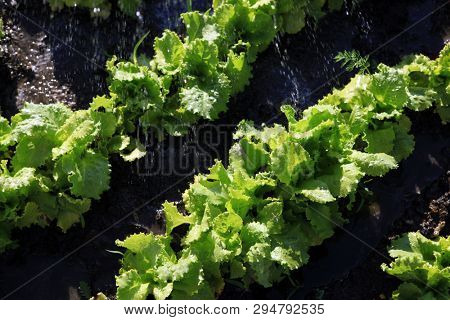 organic food, salad grows on a garden and pours down a rain