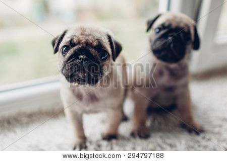 Pug Dog Puppies Sitting On Window Sill. Little Puppies Siblings. Breeding Dogs